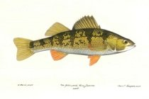 Yellow perch fish onondaga county for Yellow perch fishing rigs